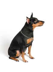 Well-bred Miniature Pinscher