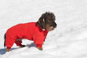 Bassotto sulla neve in montagna