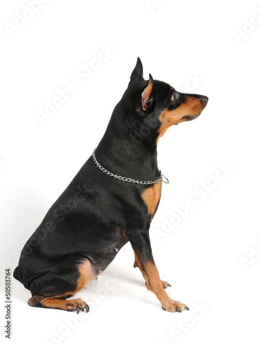 Miniature Pinscher on white