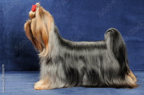 Yorkshire Terrier stands on blue background