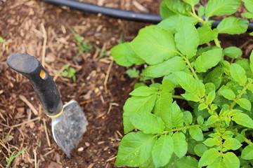Gardening Russet Potatoes