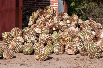 Agave fruit used to produce tequila (Mexico)