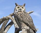 A Great Horned Owl Against a Blue Sky