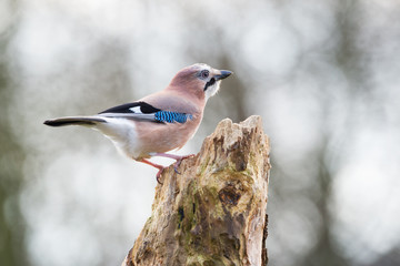 Eurasian jay in nature