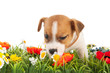Puppy dog sniffing at flowers