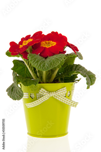 red primrose
