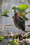Green Heron at Everglades National Park