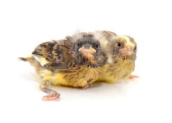 Un par de atentos canarios