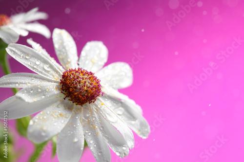 Fototapety, obrazy : Fresh white daisy on pink background