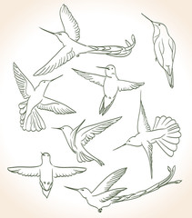 colibri drawing in line art style