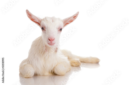 goat , isolated