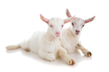 Two kids of a goat, isolated