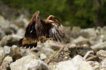 Golden Eagle landing