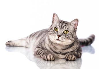 Liegende Katze - Lying cat
