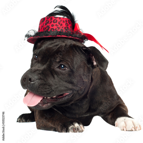 staffordshire bull terrier dog in a hat