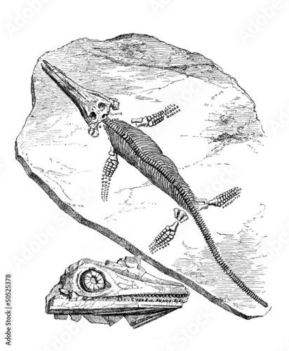 """Fossil : """"Ichtyosaurus Chiroligostinus"""""""