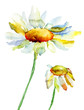 Quadro Camomile flowers