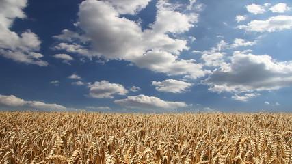 Golden wheat fields, timelapse