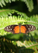 Golden Helicon Butterfly standing on the fern leaf