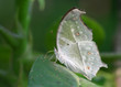 Mother of Pearl Butterfly on The Leaf