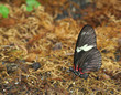 Red Doris Longwing Butterfly