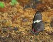 Red Doris Longwing Butterfly