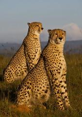African cheetahs 4534