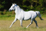 Beautiful White Horse Running in Field