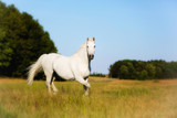 Beautiful White Horse Strolling