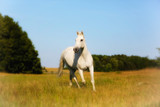 Front of Beautiful White Horse