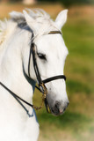 Head of Beautiful White Horse
