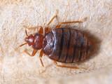 Cimex hemipterus
