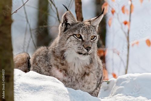 Fotobehang Lynx Luchs 2
