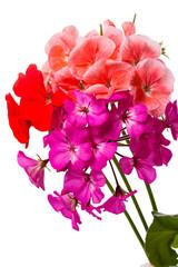 Tricolor geranium