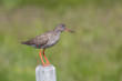 Common Redshank, Rotschenkel, Tringa Totanus