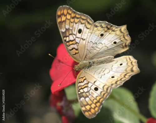 A White  Peacock Butterfly feeding on red flower