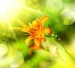 defocus orange lily flowe
