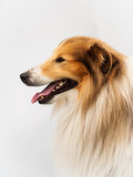 sheltie in studio
