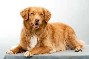 scotia nova duck-tolling retriever isolated on a white