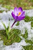 Fototapety Krokus in der Wiese mit schmelzendem Schnee