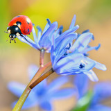 ladybug on blue flower