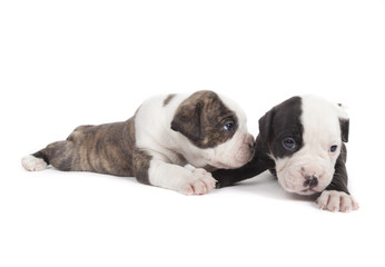Bulldog pups playing on white background