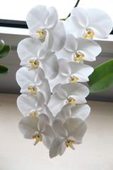 orkide11