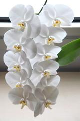 orkide10