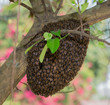 A swarm of Thailand honey bees clinging to a tree