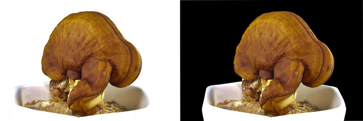 Lacquered Mushroom in pot