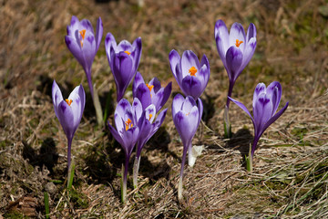 crocus flowers blow in the meadow