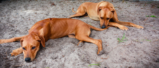 Rhodesian Ridge-backs resting in the sand