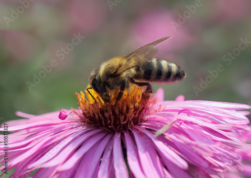 close up of bee on chrysanthemum