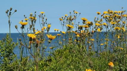 Yellow flowers at the seashore. PEI, Canada.